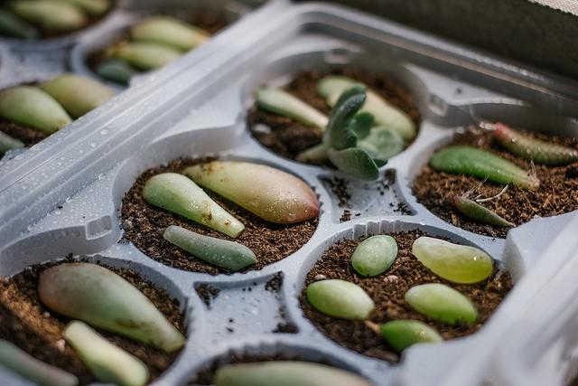 Propagate a Succulent