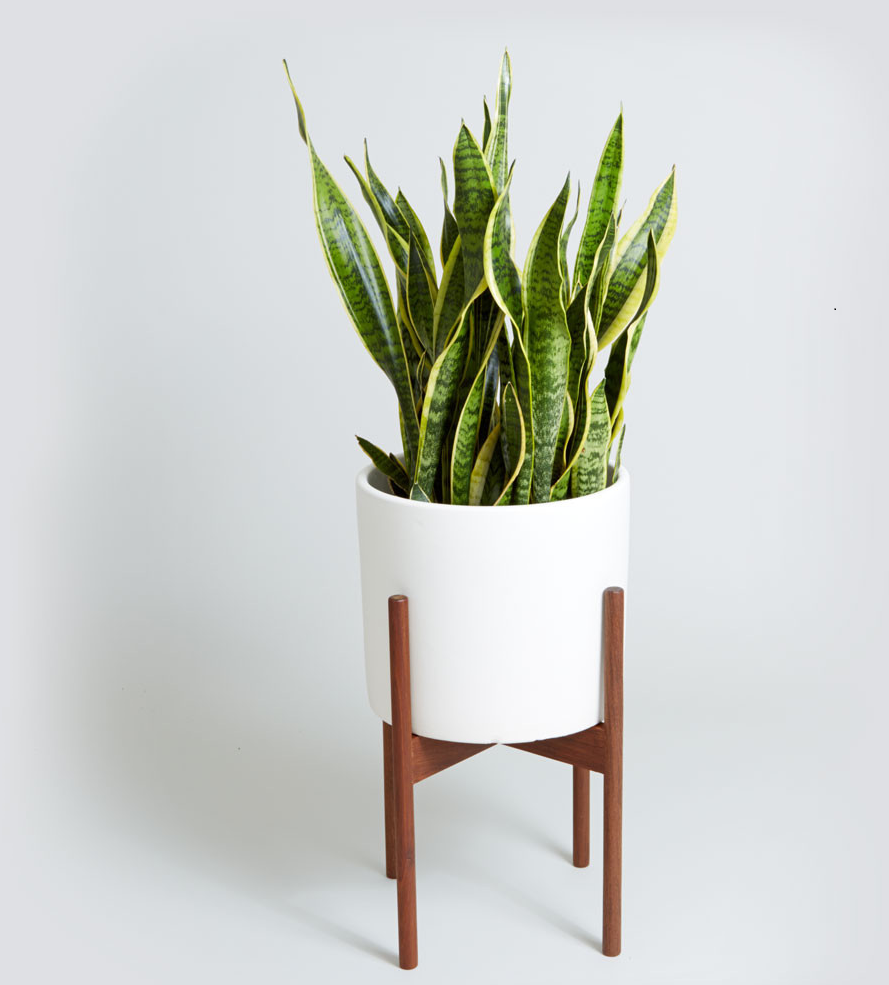 add a snake plant to your indoor garden