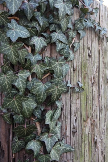 english ivy for indoor garden